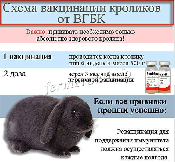 Схема вакцинации кроликов