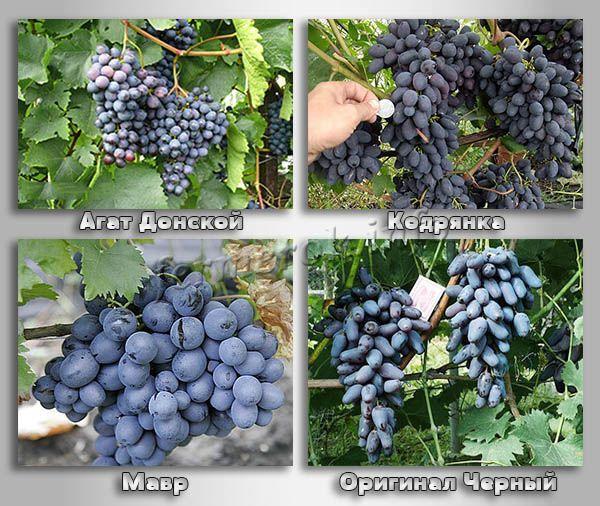 Столовые сорта черного винограда