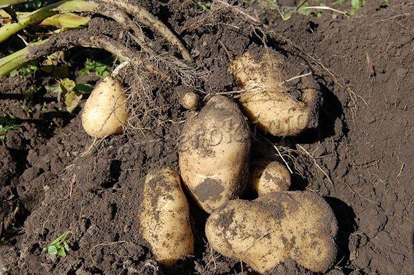 Урожайность картофеля Гулливер 350-450 ц/га