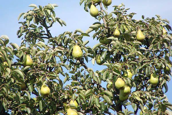 Урожайность с молодого дерева около 20 кг. К 8 году она повышается до 45 кг