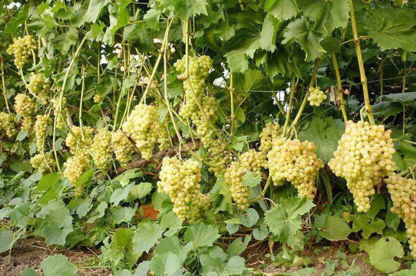 Урожайность высокая, с кустика можно получить до 25 кг ягод