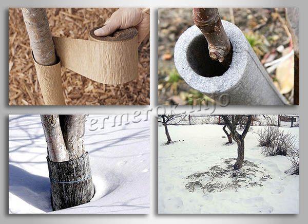 Утепление груши на зиму