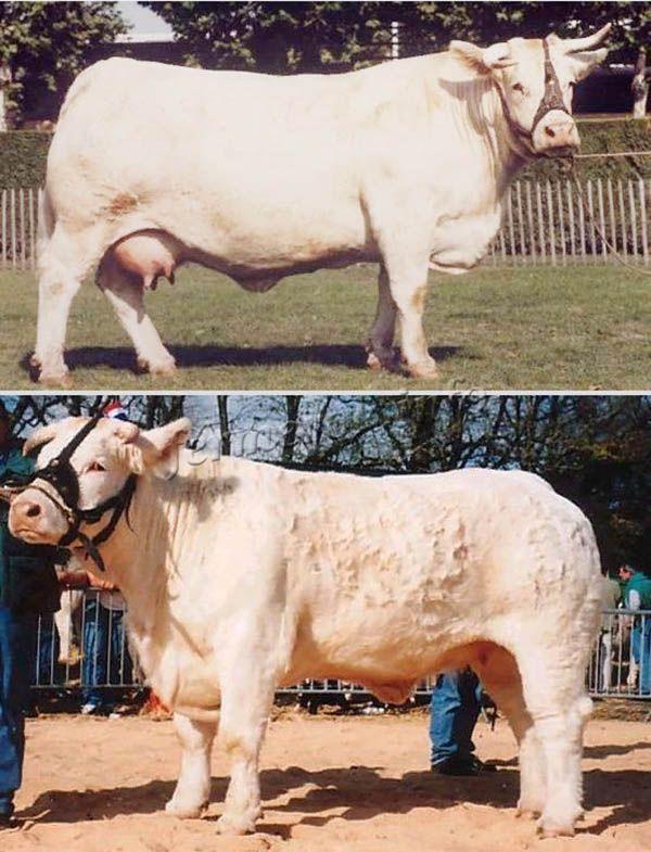Внешний вид коров породы Шароле