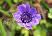 Цветок Анемона