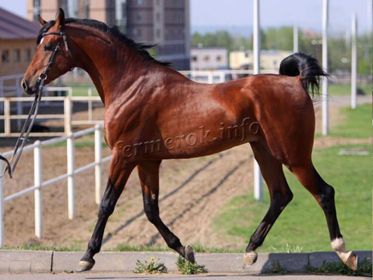 Содержание лошадей Арабской породы