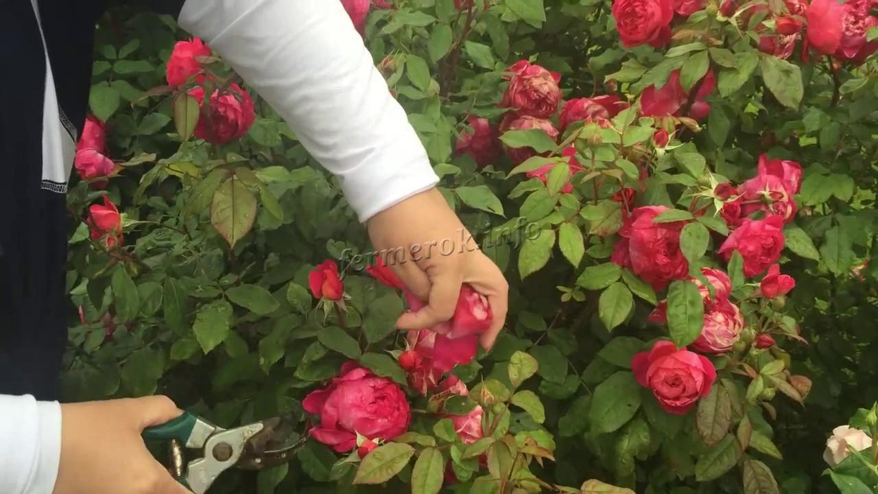 Размножение пионовидной розы