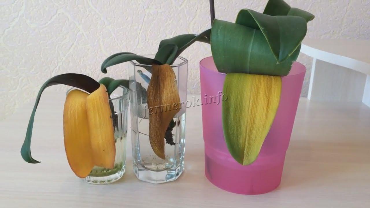 Почему у орхидеи желтеют нижние листья?