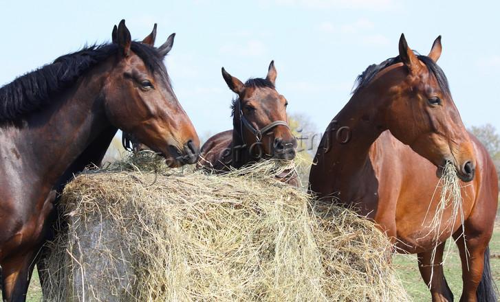 Кормление Арабских лошадей