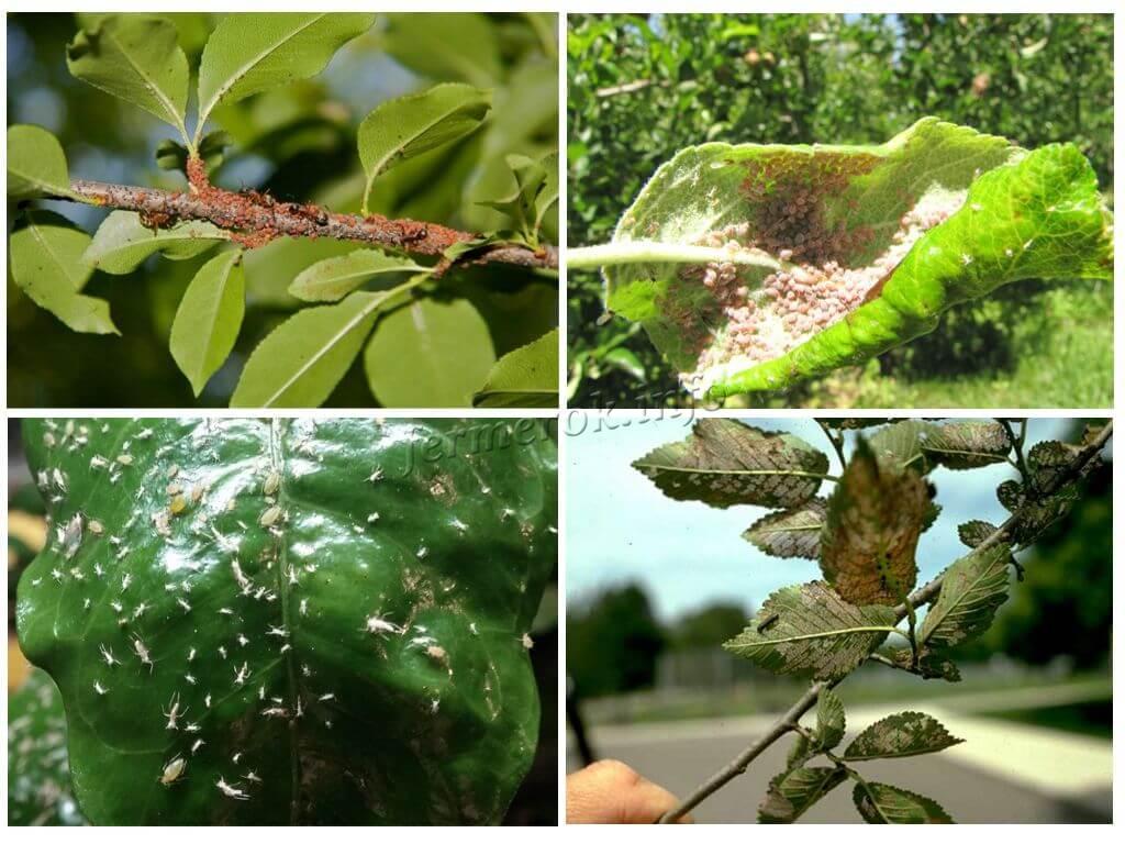 Обработка плодовых деревьев весной от вредителей