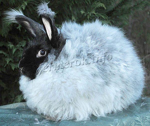 Ангорский кролик породы гигант