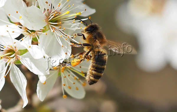 Чтобы собрать пыльцу, пчелы запускают в цветки свои задние лапки