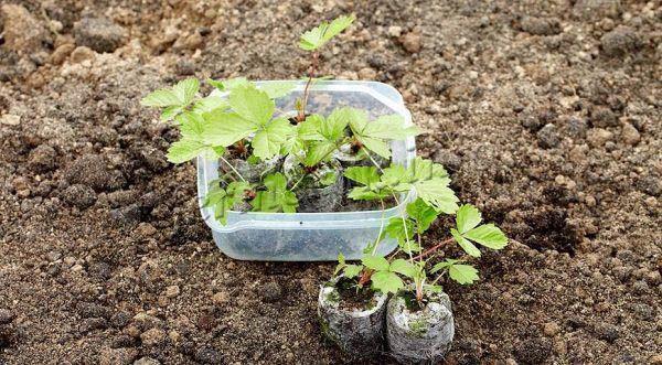 Для выращивания рассады из семян используют торфяные таблетки