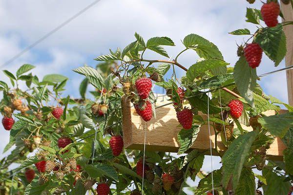Если дать ягодам дозреть, они будут более сладкими