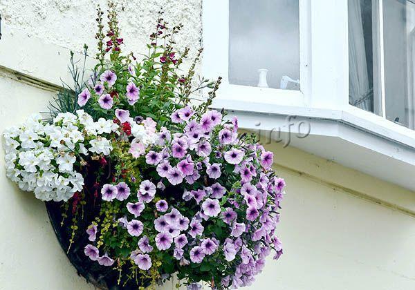 Если рассада выращена правильно, летом петуния порадует красивейшими цветами самых фантастических расцветок