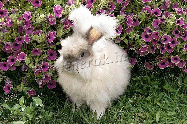 Фото ангорского кролика Французской породы