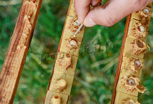 Фото маточников с личинками