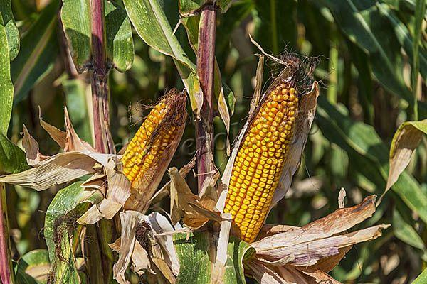 Фото спелой фуражной кукурузы на поле