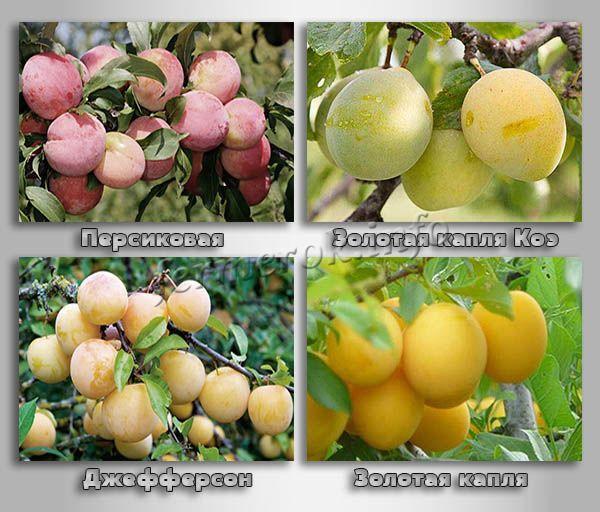 Крупноплодные сорта желтых слив