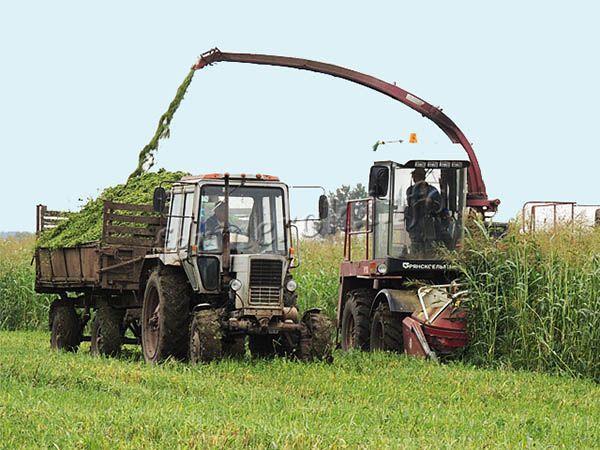 Кукурузный силос наиболее популярный тип корма