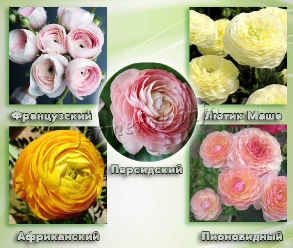 Любимые цветоводами цветы сорта Ранункулюса