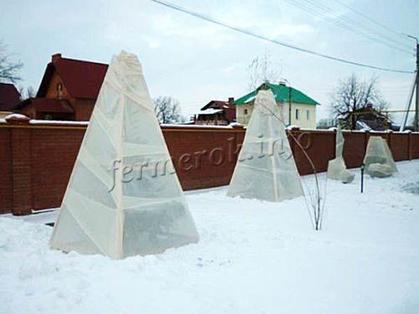 Любые сорта колоновидных черешен, даже морозостойкие, необходимо утеплять на зиму!