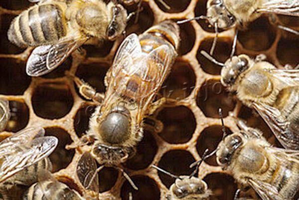 Отчасти именно из-за питания маточным молочком матка вырастает в 2 раза больше простых пчел, и живет порядка 6 лет