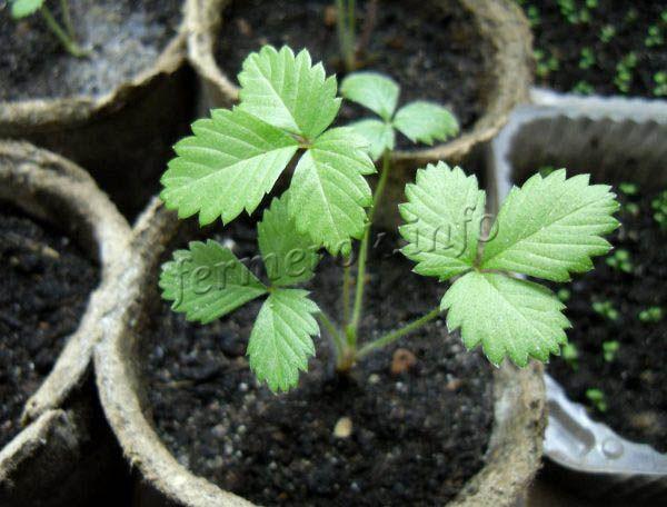 После появления шести листочков рассада готова к высадке в грунт