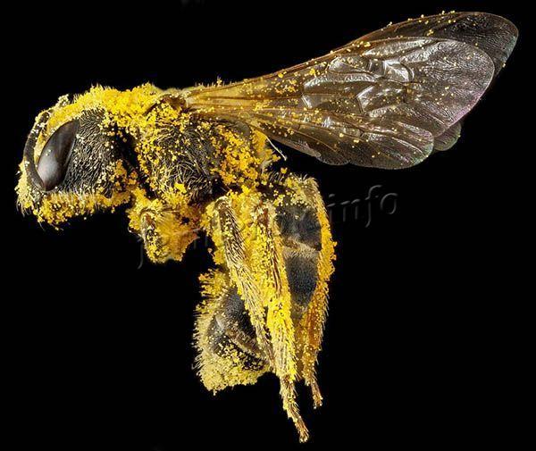 Пыльца липкая, поэтому прилипает к пчеле