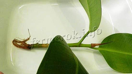 Размножается фикус каучуконосный черенкованием или отводками