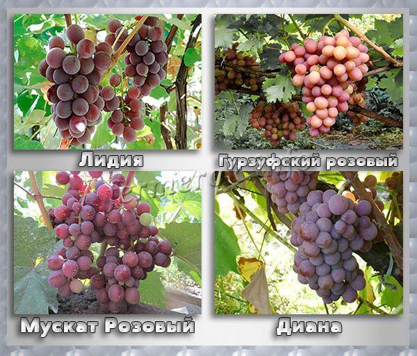 Розовые и красные сорта винного винограда