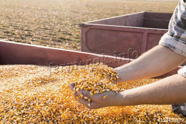 Сбор урожая фуражной кукурузы