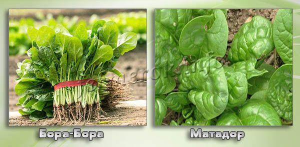 Сорта шпината для Урала