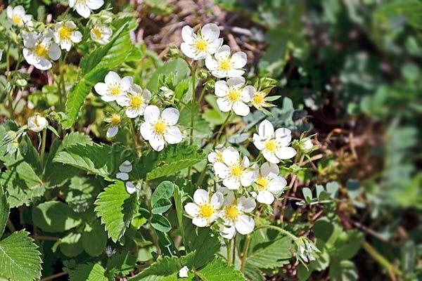 Цветение земляники Руяна наблюдается в мае