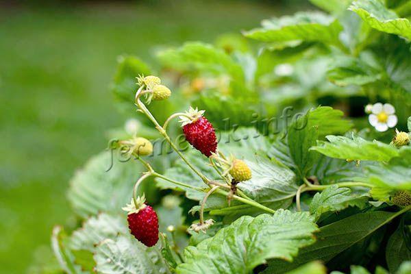 Цветоносы вырастают выше куста, что исключает загрязнение бутонов, а затем и ягод
