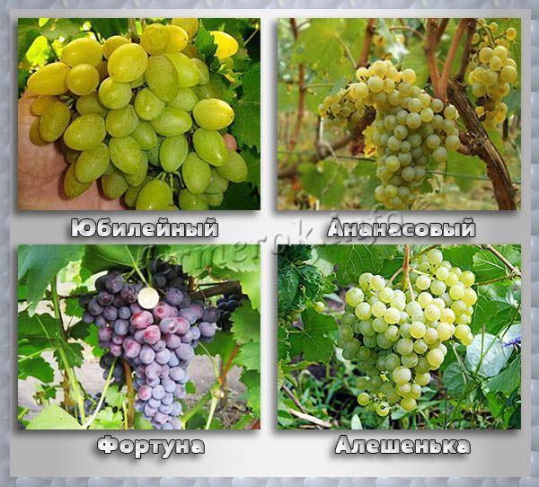 Технические сорта винограда для средней полосы России