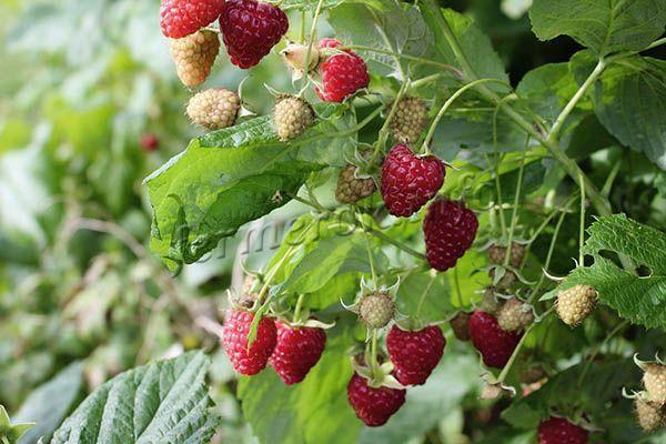 Урожайность с кустика – 4-6 кг