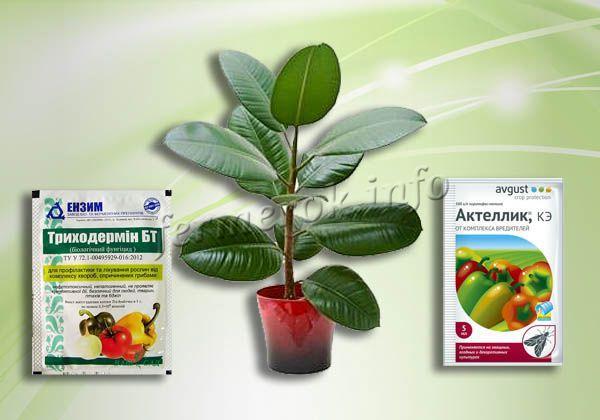 Защита фикуса от болезней и вредителей