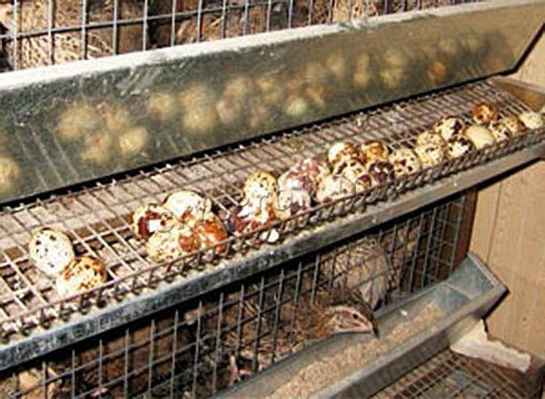 Чтобы перепелки хорошо неслись, в их корм обязательно добавляют гравий, дробленую ракушку, пищевой мел