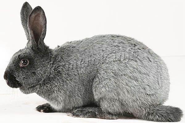 Экстерьер кроликов Полтавское серебро