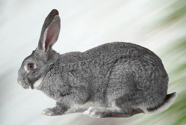 Фото кролика Серый великан