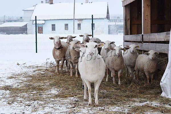 Катумские овцы любят чистоту