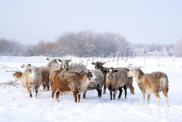 Катумские овцы могут выращиваться и в северных регионах России