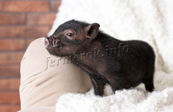 Мини-пиг постоянно старается залезть на кровать, а если это не удается – оккупирует кресло