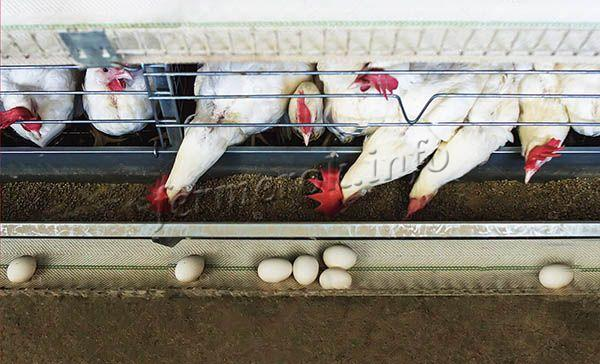 При кормлении кур комбикормом повышается яйценоскость