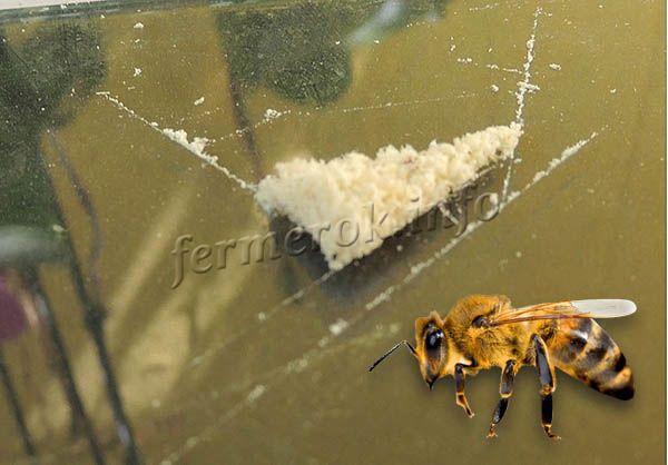 В организме пчел яд находится в жидкой форме, но после его выделения он быстро твердеет (яд собран на стекло)