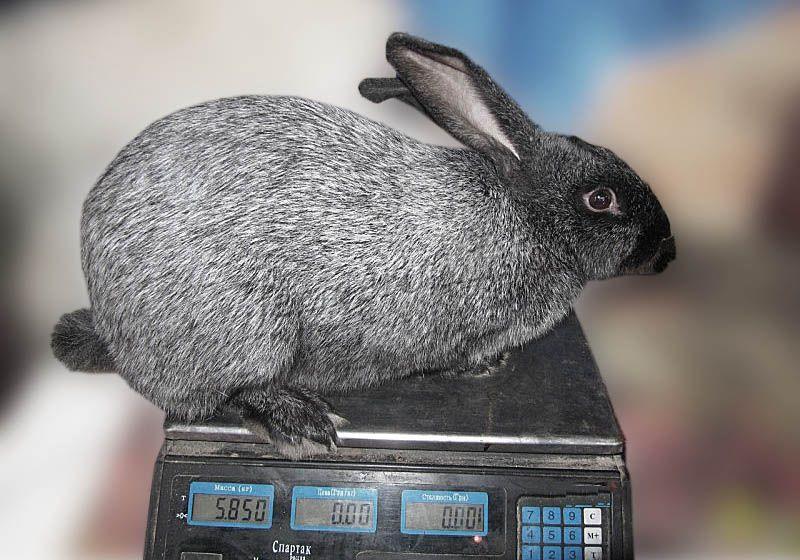 Вес кролей может доходить до 7 кг, но чаще около 5-6 кг