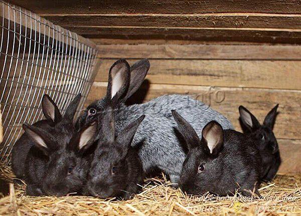 За один раз самка дает около 8 крольчат