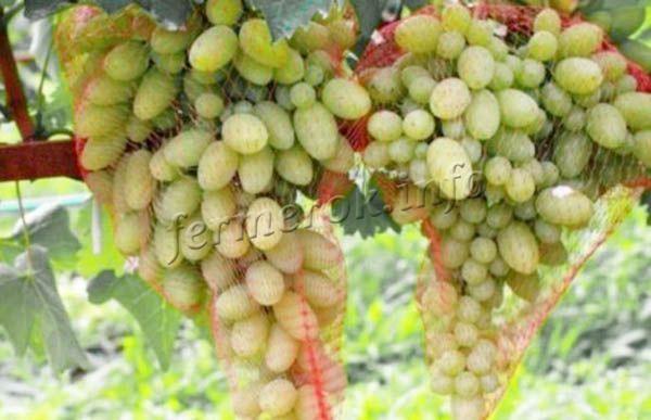 Чтобы уберечь урожай от ос, нужно каждую гроздь помещать в специальную сеточку