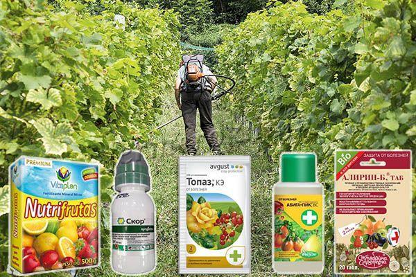 Если оидиум уже поразил виноград, необходимо опрыскивание химическими, биологическими препаратами