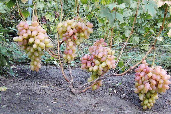Фото розового винограда Тимур